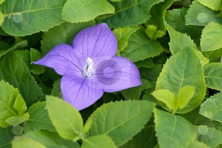 Sentimental Blue Balloon Flower stock photo, Balloon Flower - Platycodon Grandiflorus Sentimental Blue and foliage. by Charles Jetzer