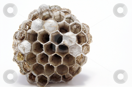 Wasps Nest stock photo, Paper wasps nest with live young inside combs. by Robert Byron