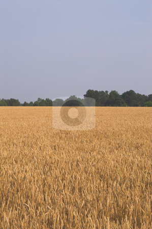 Wheat Field stock photo, A field of golden wheat grains ready for harvesting. by Robert Byron