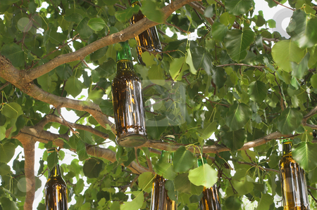 Beer Tree stock photo, A beer tree ripe with fresh fruit. by Robert Byron