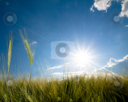 Green wheat field stock photo, Green wheat field at spring under the sun by Laurent Dambies