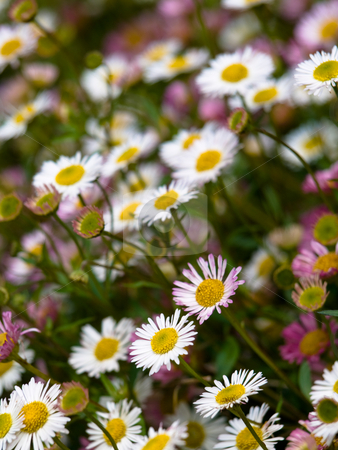 Daisy flowers  stock photo, Daisy flowers with shallow depth of field by Laurent Dambies