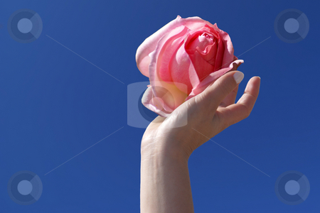 Love stock photo, A delicate rose lovingly held in one woman hand by Serge VILLA