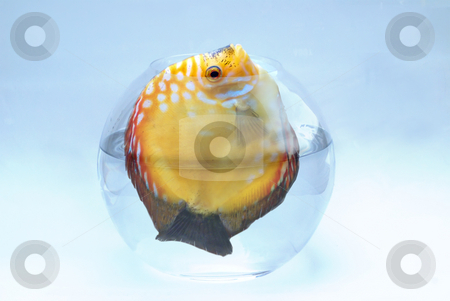 Big Fish stuck in Tank stock photo, This large yellow fish is too big for such a small tank. this is a concept shot to do exercise or change your home... by Serge VILLA