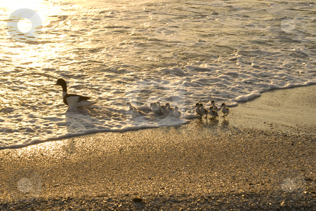 Duck's family stock photo, Family of ducks walking a straight line in front of the sea. by Serge VILLA