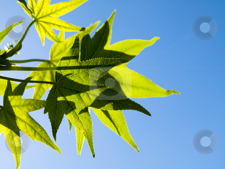 Green leaves stock photo, Liquidambar green leaves at spring backlighted with blue sky by Laurent Dambies