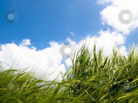 Green wheat field stock photo, Green wheat field at spring under blue sky  with clouds by Laurent Dambies