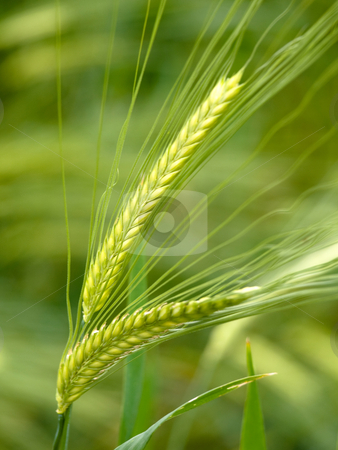 Green wheat  stock photo, Green wheat close up at spring with shallow depth of field by Laurent Dambies