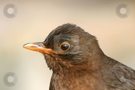 Close up of a friendly blackbird. stock photo, Close up of a friendly blackbird. by Stephen Rees