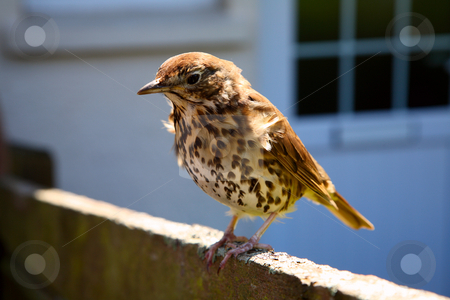 A friendly British thrush on a garden fence. stock photo, A friendly British thrush on a garden fence. by Stephen Rees