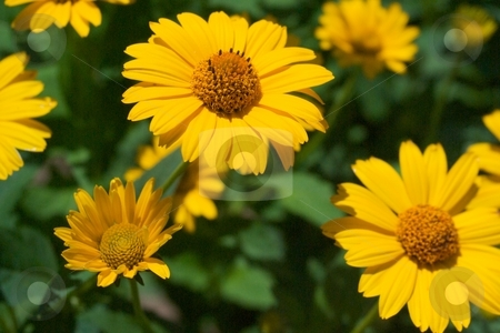 Tuscan Sunset stock photo, Close-up of Heliopsis Tuscan Sunset blooms. by Charles Jetzer