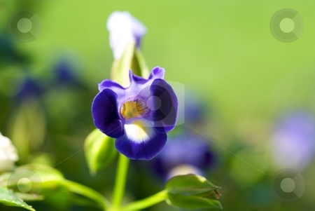 Midnight Blue Torenia stock photo, Close-up of a blooming Midnight Blue Catalina Torenia by Charles Jetzer