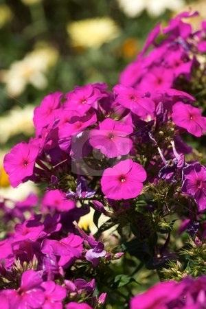 Neon Pink Phlox stock photo, Close-up of blooming neon pink Phlox by Charles Jetzer