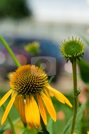 Big Sky Summer Harvest Moon Echinacea Bloom and Bud stock photo, Closeup of a bloom and bud of a Big Sky Summer Harvest Moon Echinacea by Charles Jetzer