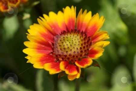 Arizona Sun Flower I stock photo, Closeup of an Arizona Sun Gaillardia from the sunflower family. by Charles Jetzer