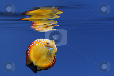 Fish rising to surface stock photo, Illustration of a tropical fish underwater. by Serge VILLA
