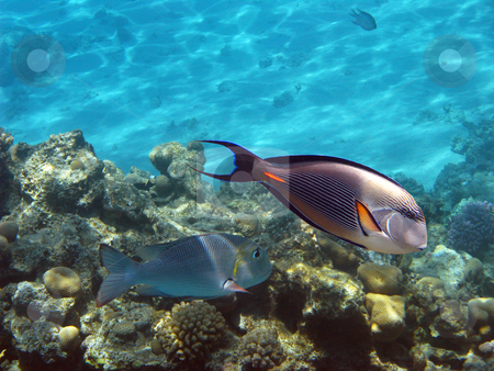 Sohal surgeonfish stock photo, Tropical fishes and coral reef in Red sea by Roman Vintonyak