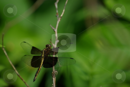Dragonfly on Green Background stock photo, A sure sign of summer is the appearance of dragonflys which are usually found around ponds, lakes and water.  They have their origins in prehistoric times.  Dragonflys are harmless to humans and eat mosquitos and other insects. by Dennis Thomsen