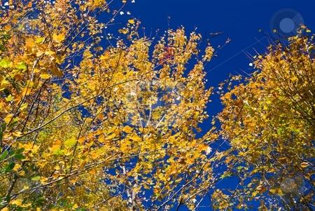 Golden Autumn Leaves on Cobalt stock photo, Golden autumn leaves on a deep blue sky. by Charles Jetzer