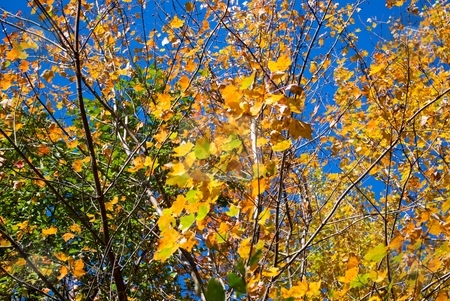 Golden Leaves stock photo, Golden autumn leaves with some blue sky behind. by Charles Jetzer