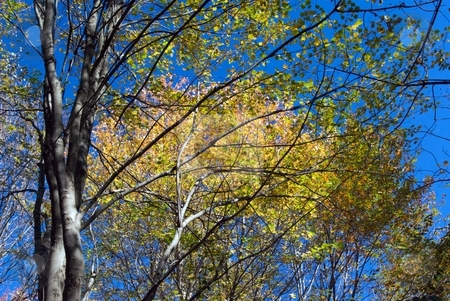 Reaching for the Canopy stock photo, Autumn leaves and blue sky. by Charles Jetzer