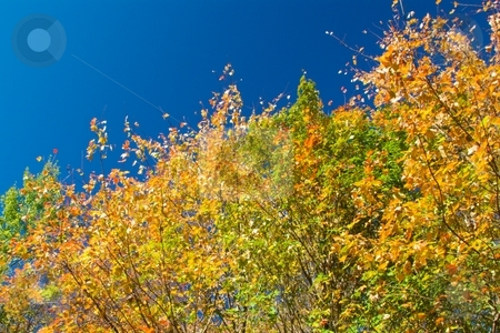 Golden Autumn Leaves stock photo, Golden autumn leaves and blue sky. by Charles Jetzer