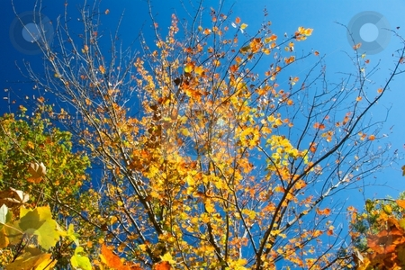 Golden Autumn Leaves stock photo, Golden autumn leaves on a blue sky. by Charles Jetzer