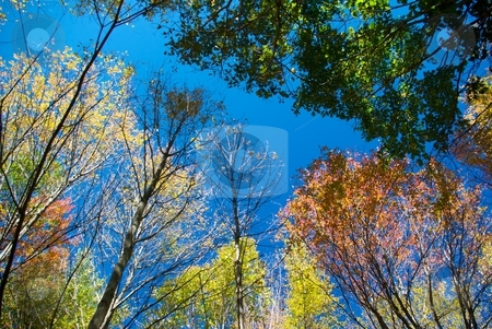 Autumn Foliage Looking Up stock photo, Looking up at autumn foliage and blue sky. by Charles Jetzer