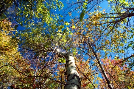 Up a Tree stock photo, Looking up a tree at the autumn leaves. by Charles Jetzer