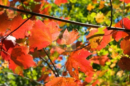 Autumn Glowing Maple stock photo, Autumn maple leaves glowing with sunlight. by Charles Jetzer