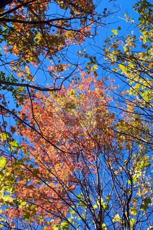 Branches of Autumn stock photo, Autumn leaves and branches from below. by Charles Jetzer
