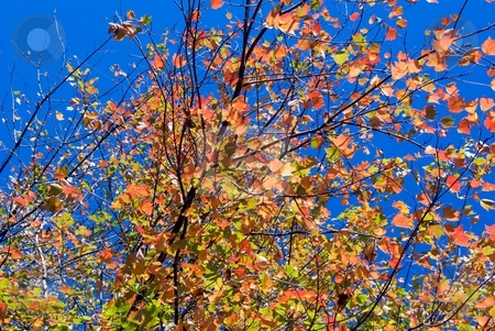 Golden autumn leaves stock photo, High contrast of golden autumn leaves on a very blue sky. by Charles Jetzer