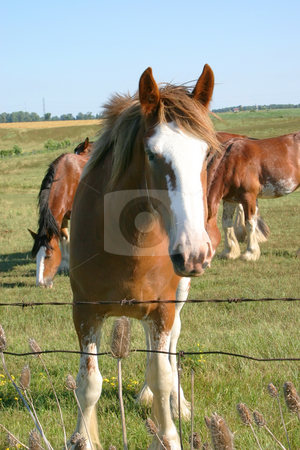 Grazing Herd stock photo, Clydesdale looking at the camera while other clydesdales are grazing behind. by Johan Knelsen