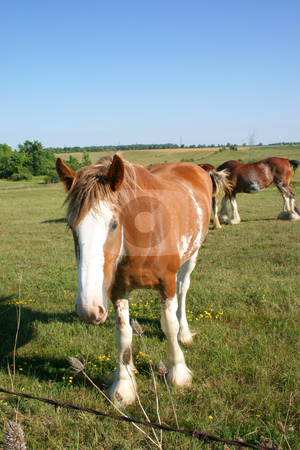 Curious Clydesdale stock photo, Curious Clydesdale looking at the camera. by Johan Knelsen