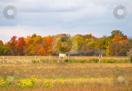 Grazing Cow stock photo, Cow grazing in a field during autumn by Johan Knelsen