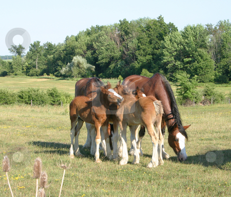Grooming Clydesdales stock photo, Baby clydesdales Grooming each other by Johan Knelsen