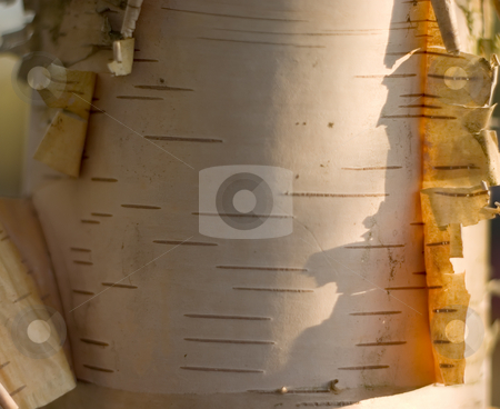 Birch Bark stock photo, Birch wood background abstract with detail of the bark by Johan Knelsen