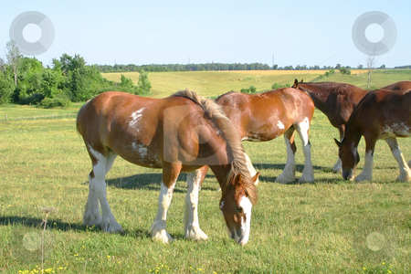 Grazing Clydesdale stock photo, Clydesdale grazing in a meadow by Johan Knelsen