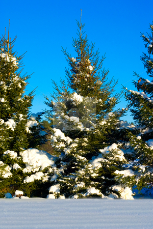 Snow Covered Pine Tree stock photo, Snow covered pine tree with a blue sky by Johan Knelsen