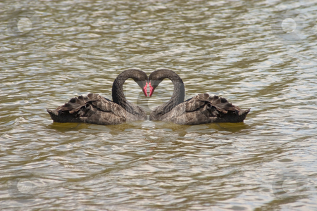 Black Swans Heart stock photo, Black swans heart on the the water unlike anything else by Johan Knelsen