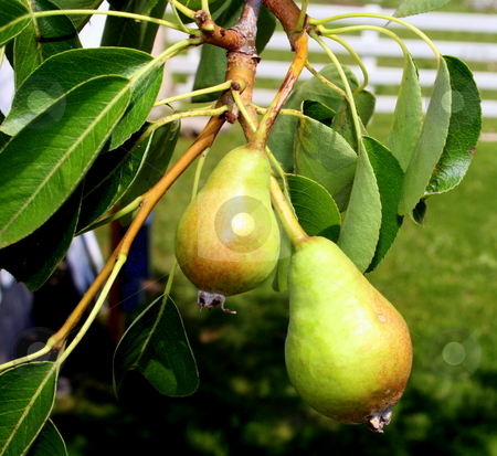 Young Pears on Tree stock photo, Young green pears, growing on the tree by Tom and Beth Pulsipher