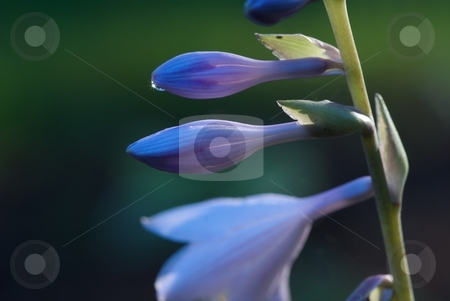 Sparkling Hosta stock photo, Close-up of a blooming Hosta. by Charles Jetzer