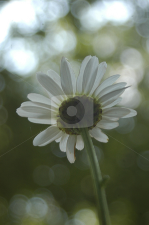 Absract daisy  stock photo, Abstrct daisy with light seen close up and shot from behind by Tim Markley