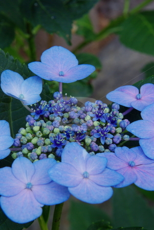 Hydrangea Blooming stock photo, Blue and pink Hydrangea in various stages of flowering, from flower to buds bursting open. by Lynn Bendickson