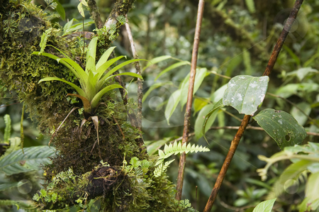 Jungle Foliage stock photo, Bromeliad and other jungle foliage in Central America. by Scott Griessel