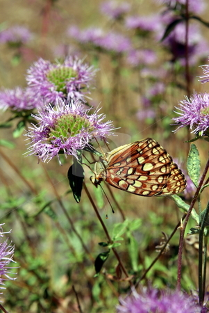 Upside Down Butterfly stock photo, A lone butterfly perched upside down on a purple mountain wildflower. by Lynn Bendickson