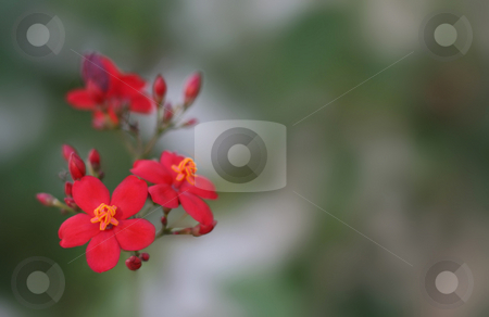 Cute Flowers stock photo, Close-up of Little Red Flowers with blurry background by Anas Janahi