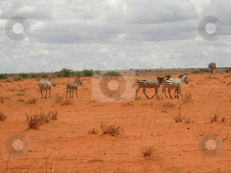 Zebra herd stock photo, Zebra in the dried out grass-land of the Amboseli National Park, Kenya, during the drought season. by Rose Nthiwa