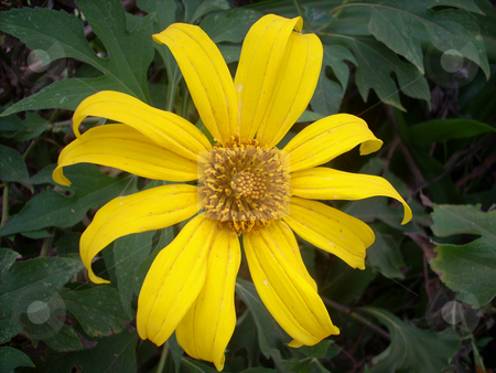 Yellow daisy stock photo, Portrait of a beautiful wild yellow flower against dark green leaves. by Rose Nthiwa