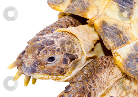 Testudo horsfieldi stock photo, Head and face of a tortoise - Testudo horsfieldi - on the white background - close up by Petr Koudelka